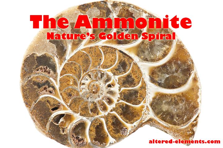 ammonite-natures-golden-spiral-golden-ratio-golden-mean